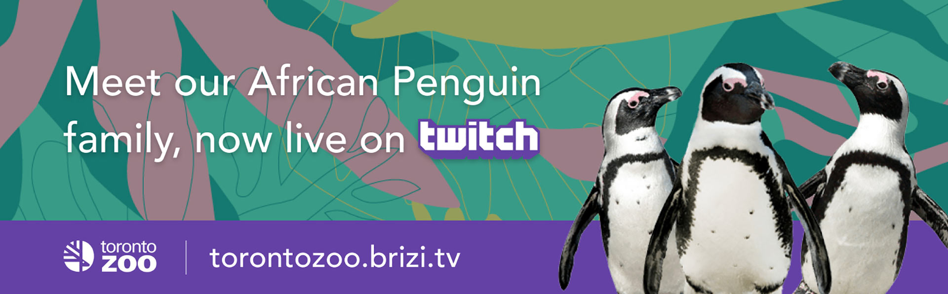 Meet our African Penguin family, now live on Twitch